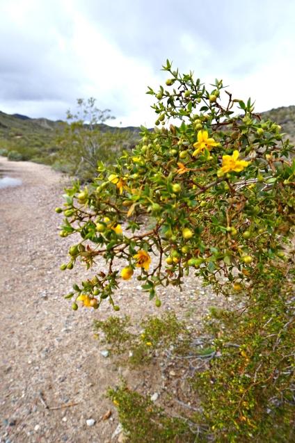arizona-flower